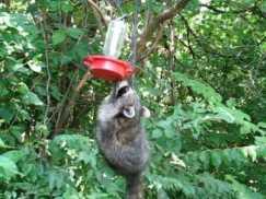 racoon feeder